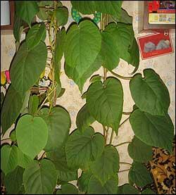 В книге что в природе лиана киви