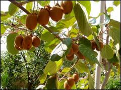 лиана киви с плодами