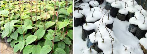 саженцы киви из семян; зимовка привитых саженцев киви