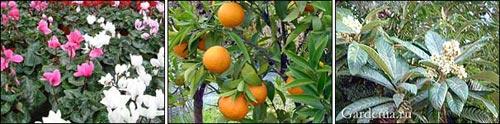 Зимние растения: цикламены, мандарины, мушмула